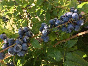 Marys Garden Blueberries